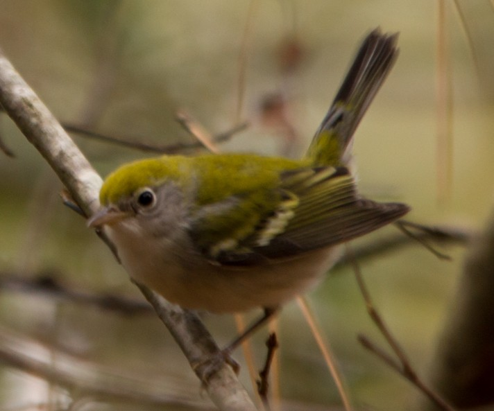 Chestnut-sided Warbler on 2014 Chapel Hill CBC